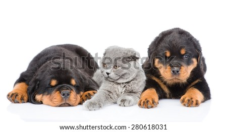 kitten lies between the two rottweiler puppies. Isolated on white background