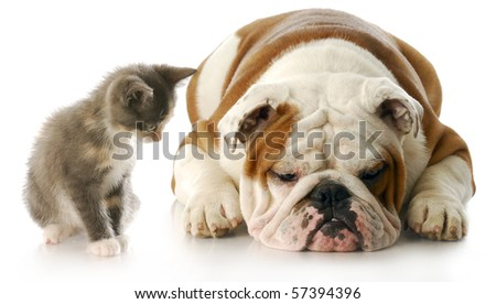 kitten looking down at english bulldog puppy that is laying down sulking with reflection on white background - stock photo