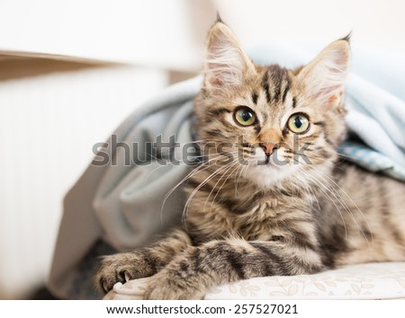 kitten looking out from under blanket - stock photo
