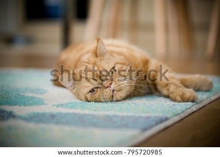 kitten lying on a blue carpet in living room
