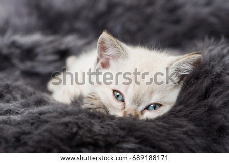 Kitten lying on sheepskin