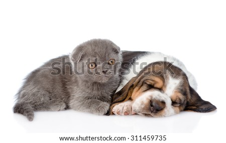 Kitten lying with sleeping basset hound puppy. isolated on white background - stock photo