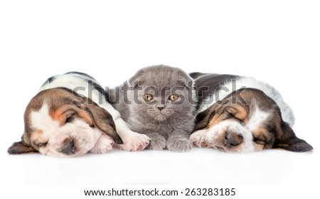 Kitten lying with two sleeping basset hound puppies. isolated on white background - stock photo