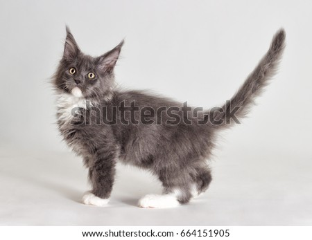 Kitten maine coon gray with white stands and looks at a gray background