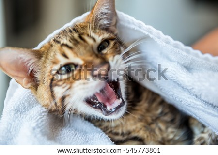 kitten meowing - orange striped toyger cat - cute little animal wrapped in towel after bath