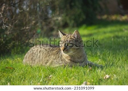 Kitten of gray tabby cat is  lying at the garden.