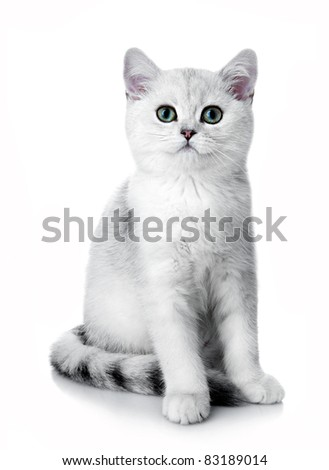 Kitten of the British breed. Rare coloring - a silvery chinchilla - stock photo