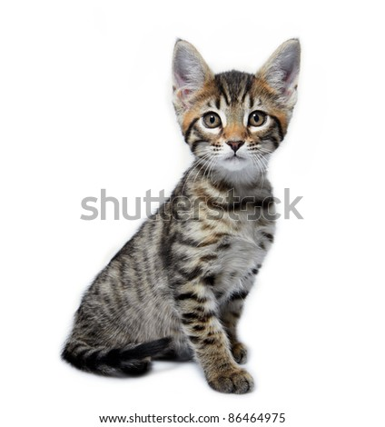 Kitten of the Metis breed ( Bengal + Maine Coon). Age - 2 month. - stock photo