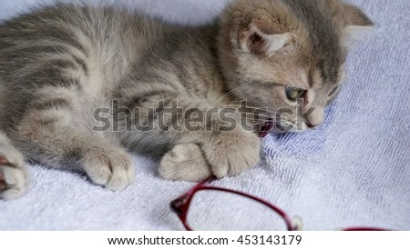 Kitten of the Scottish fold which plays with glasses