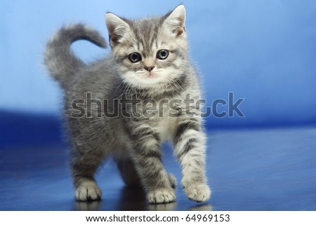 kitten on a blue background - stock photo