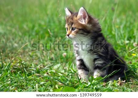 kitten on a green grass - stock photo