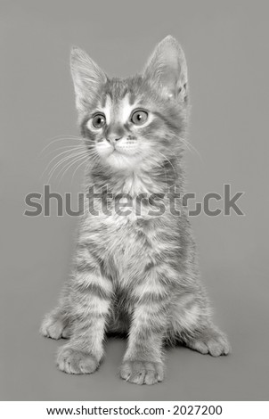 Kitten on a grey background