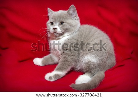 Kitten on a red background, British Shorthair, a little cute British kitten posing kitten on red cloth, white color the cat, pet. - stock photo