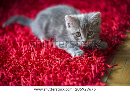 Kitten on a red carpet