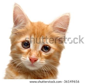 Kitten on a white background - stock photo