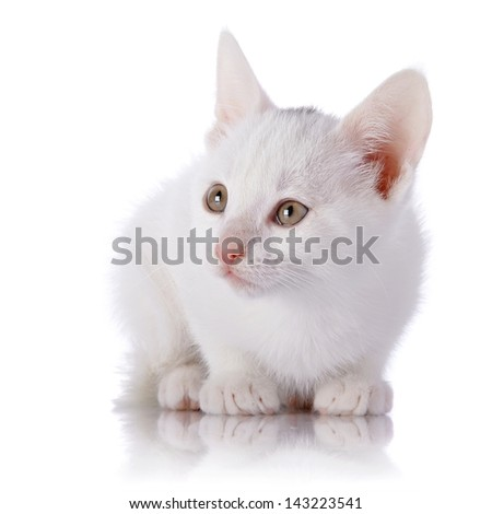 Kitten on a white background. Small predator. Small cat.