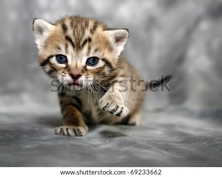 Kitten on Grey background - stock photo
