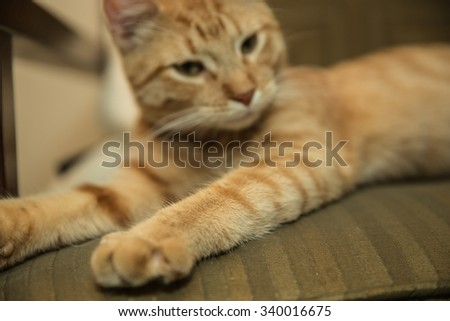 Kitten paws - orange Tabby stretching cute fuzzy arms on chair - cat model - stock photo