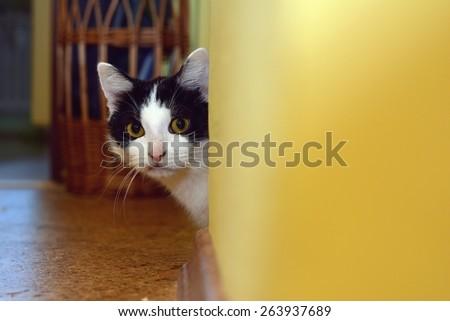 Kitten peeking around the corner in the apartment - stock photo
