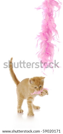 kitten playing - nine week old kitten playing with pink feather boa with reflection on white background - stock photo