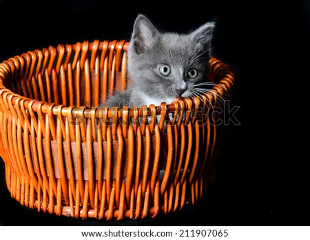 Kitten playing or hiding and looking in a basket on an isolated black background - stock photo
