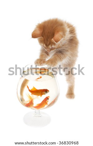Kitten playing with a gold fishes - stock photo