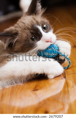 Kitten playing with chew toy - stock photo