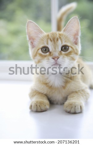 Kitten Posing By The Window