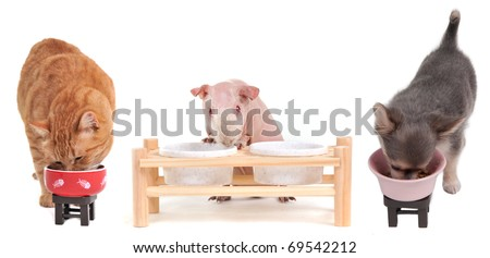 Kitten, Puppy and Skinny Guinea Pig eating, isolated - stock photo
