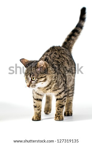 Kitten quietly stepping on the floor - stock photo