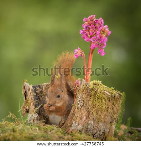 kitten red squirrel sitting in tree trunk with lila flower - stock photo
