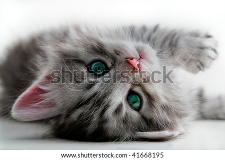 Kitten rests - isolated - stock photo
