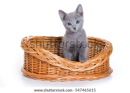 kitten Russian blue cat (isolated on white)
