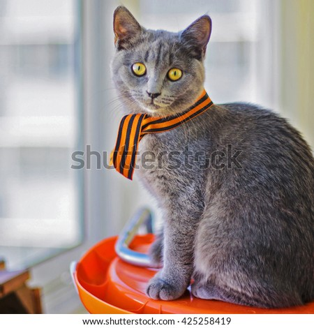 kitten Scottish breed with a St. George's ribbon - stock photo