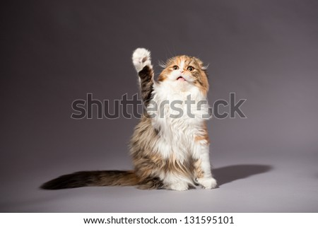Kitten scottish fold breed - stock photo