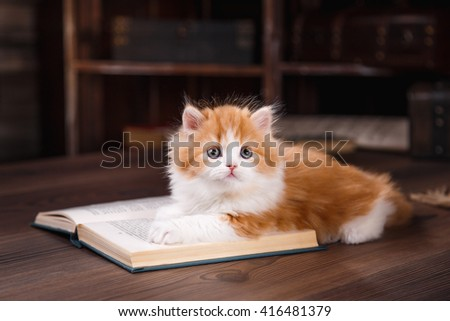 Kitten scottish fold breed on a color background  - stock photo