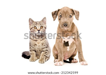 Kitten Scottish Straight and pitbull puppy isolated on white background