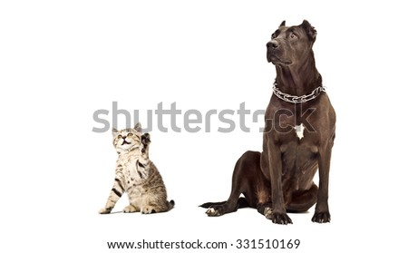 Kitten Scottish Straight and Staffordshire Terrier together isolated on white background - stock photo