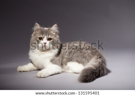 Kitten scottish straight breed on grey