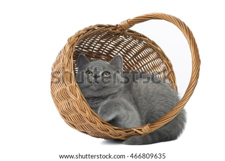 kitten Shorthair, the British blue on a white background in Studio