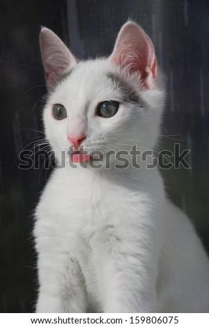 Kitten showing his tongue like a human - stock photo