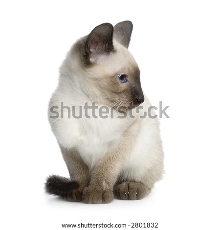 Kitten Siamese in front of a white background - stock photo