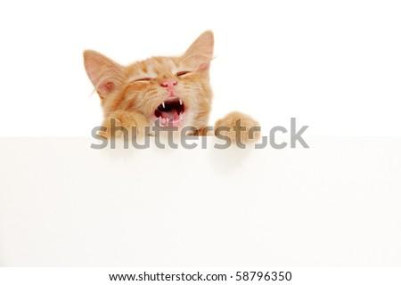 kitten singing holding blank banner isolated on white background - stock photo