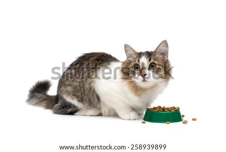 kitten sitting around a bowl of food isolated on white background. horizontal photo. - stock photo