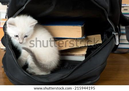 kitten sitting in a school backpack - stock photo