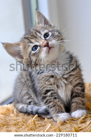 kitten sitting on a window sill and looking out the window - stock photo