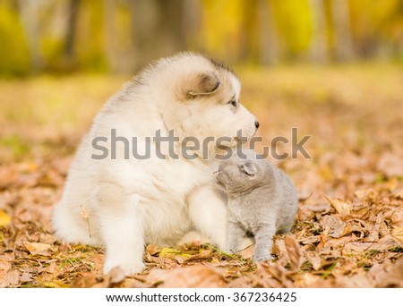Kitten sitting with alaskan malamute puppy in autumn park - stock photo