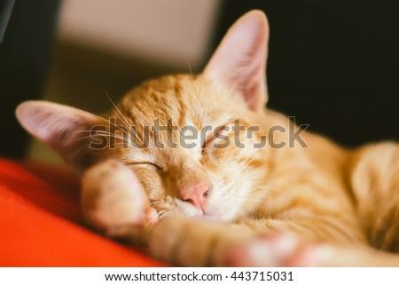 kitten sleep on the red sofa, The cat rest, cat asleep, cat sleep, close up cat sleep - stock photo