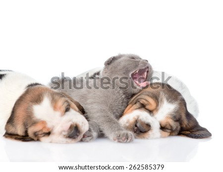 Kitten sleeping with basset hound puppies. Focus on cat. isolated on white background - stock photo