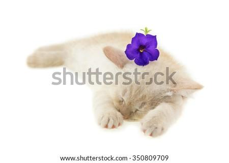 kitten sleeping with purple petunia on white background - stock photo